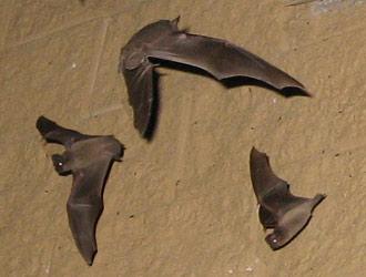 Austin Bat Control Removal