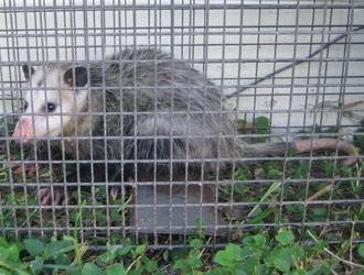 Austin Opossum Removal - Opossum Control, Trapping in Travis